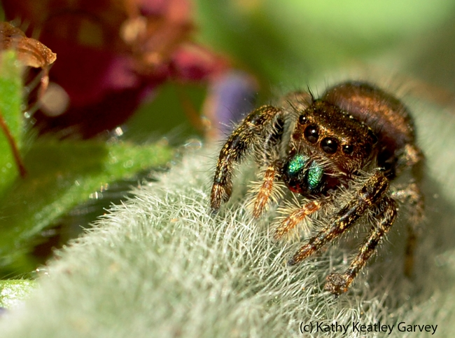 Jumping spider waiting for prey. (Photo by Kathy Keatley Garvey)