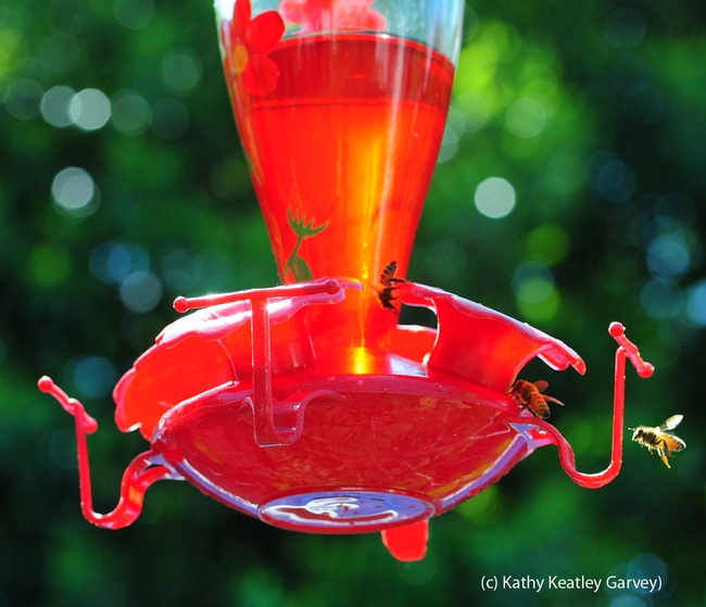 Honey bees gather around a hummingbird feeder. (Photo by Kathy Keatley Garvey)