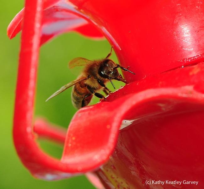 Close-up of honey bee sipping a sugar-water mixture. (Photo by Kathy Keatley Garvey)