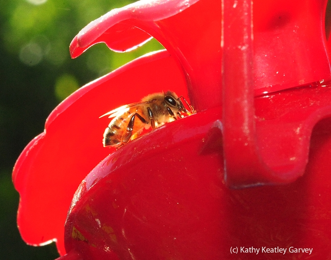 Late afternoon sun backlights a honey bee. (Photo by Kathy Keatley Garvey)