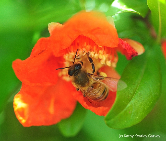 Honey bee foraging in pomegranate blossom. (Photo by Kathy Keatley Garvey)