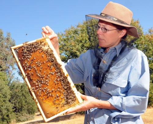 THE BEES--Honey bees are the good insects. Here UC Davis bee breeder-geneticist Susan Cobey looks at a healthy frame of bees. (Photo by Kathy Keatley Garvey)