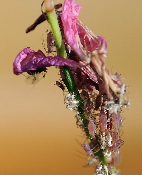 THE APHIDS--Aphids are crop pests. Their reproductive capabilities are immense. (Photo by Kathy Keatley Garvey)