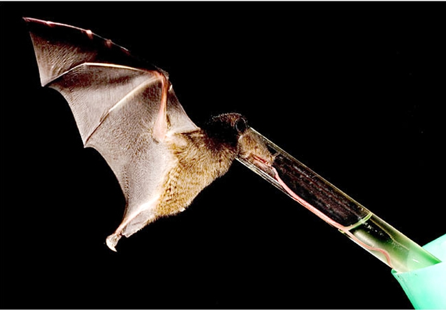 Nectar-feeding bat with a record-long tongue sips sugar-water from a tube. (Photo by Murray Cooper; photo courtesy of Nathan Muchhala)