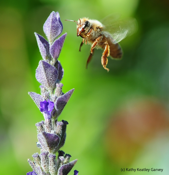 Honey bee in flight, heading toward a lavender blossom. Note the varroa mite on her head. (Photo by Kathy Keatley Garvey)