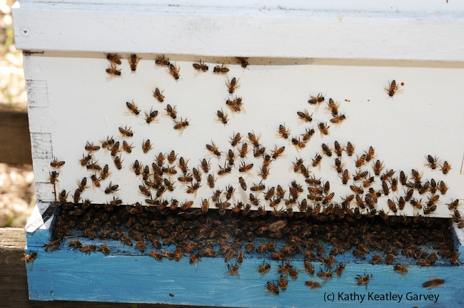 Honey bees engaging in washboarding behavior with