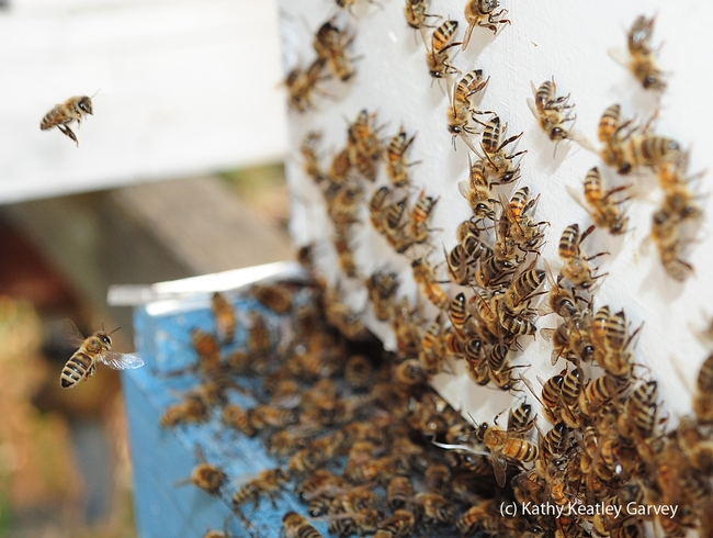 Foragers flying back to the hive as their sisters engage in washboarding activity on the wall, or what Susan Cobey calls