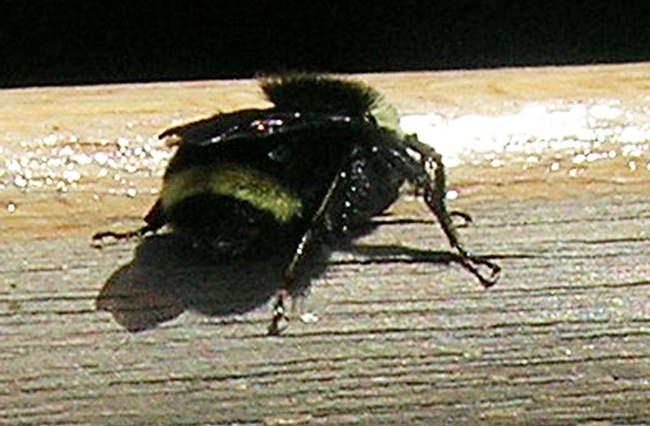 The characteristic yellow band on the abdomen of Bombus vosnesenskii. The bee landed on the boat and after a 10-minute rest, took off.