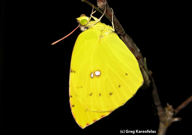 Newly emerged  California dogface butterfly. (Photo by Greg Kareofelas)