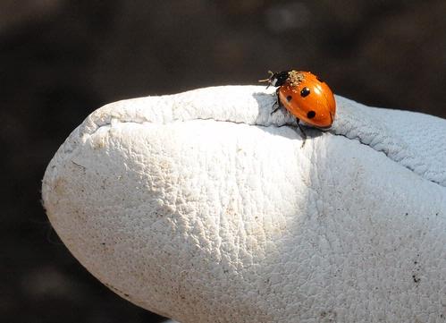 Ladybug on gardener's glove