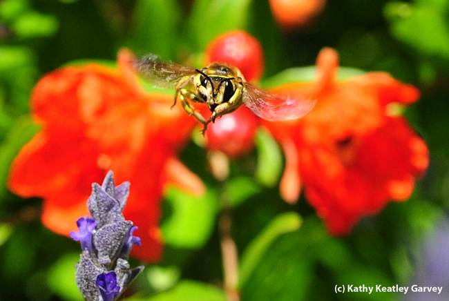 Male European wool carder bee is very territorial. Front, lavender blossoms. Back: pomegranate blossoms.(Photo by Kathy Keatley Garvey
