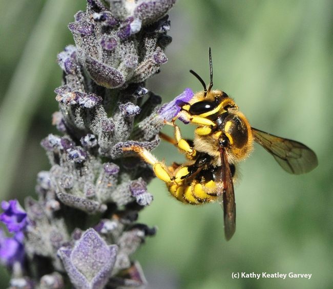European wool carder bee nectaring lavender. (Photo by Kathy Keatley Garvey)