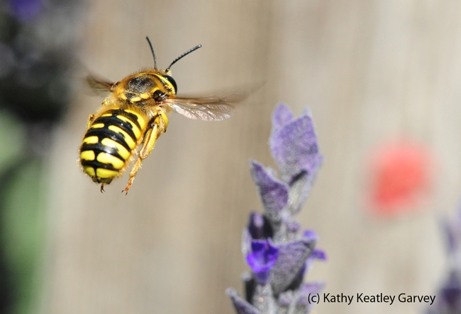 European wool carder bee is strikingly beautiful. (Photo by Kathy Keatley Garvey)