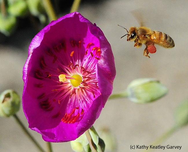Honey bee packing red pollen from rockpurslane. (Photo by Kathy Keatley Garvey)