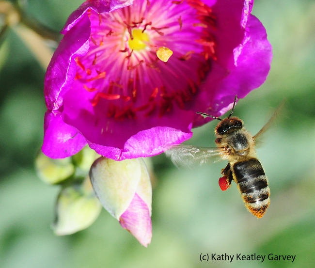 Honey bee heading toward rock purslane. (Photo by Kathy Keatley Garvey)