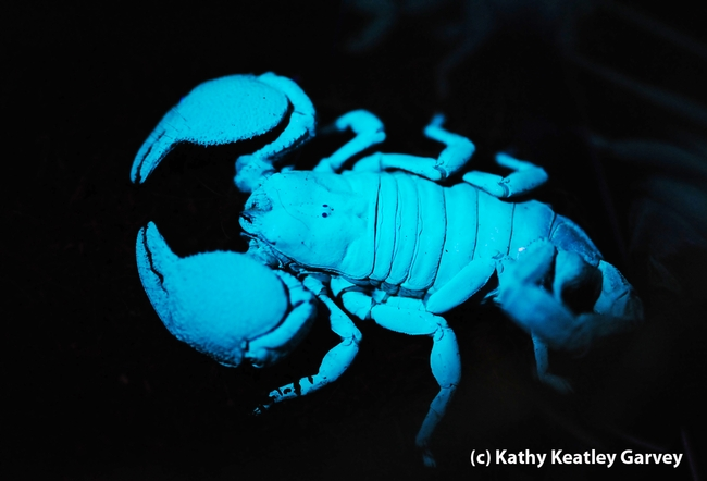 Scorpion glowing under ultraviolet light at the Bohart Museum of Entomology. (Photo by Kathy Keatley Garvey)