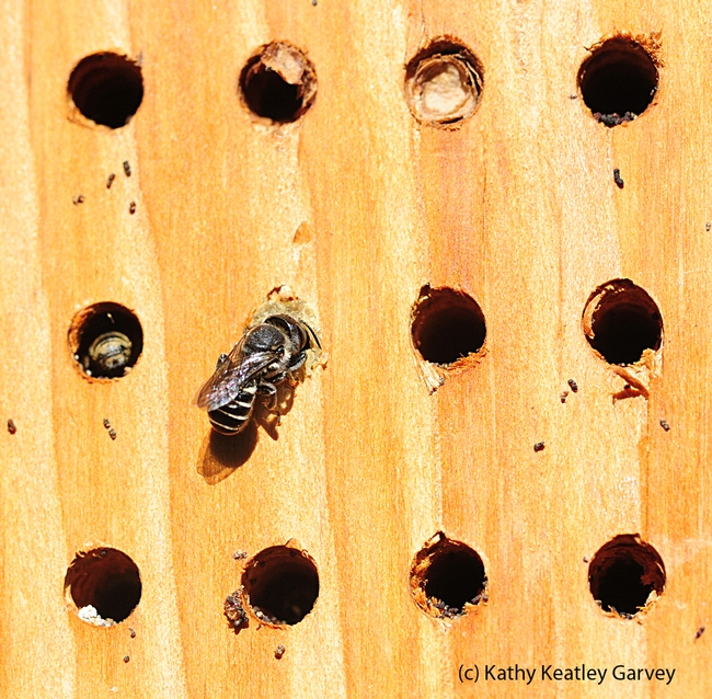 Newly emerged leafcutter bee outside her nest. (Photo by Kathy Keatley Garvey)
