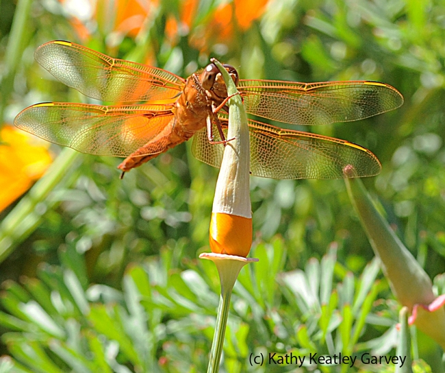 Flame skimmer dragonfly rests on an unopened poppy. (Photo by Kathy Keatley Garvey)