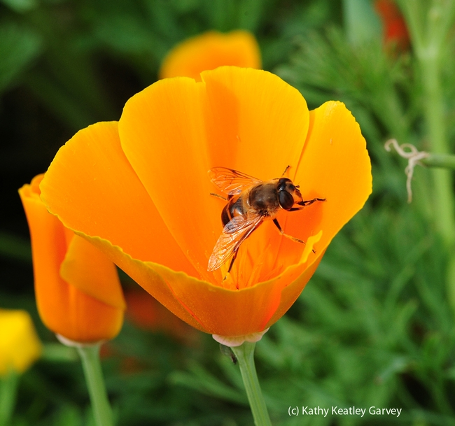 Drone fly crawls up a petal. (Photo by Kathy Keatley Garvey)