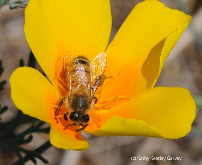 Honey bee foraging on a California golden poppy. (Photo by Kathy Keatley Garvey)