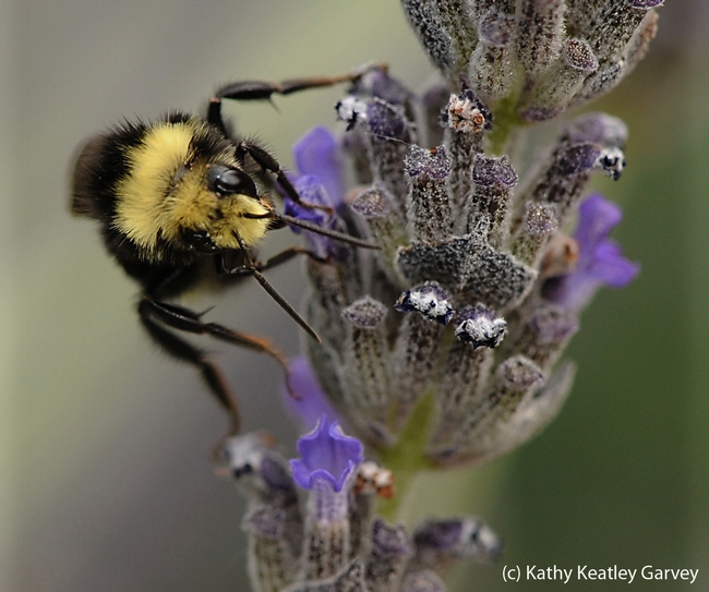 Yellow-faced bumble bee nectaring lavender. (Photo by Kathy Keatley Garvey)
