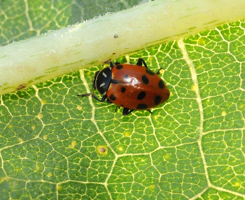 TURN OVER A NEW LEAF--and there's a ladybug, aka lady beetle. (Photo by Kathy Keatley Garvey)