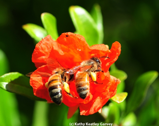 FRUIT--Honey bees battling over a pomegranate blossom. (Photo by Kathy Keatley Garvey)