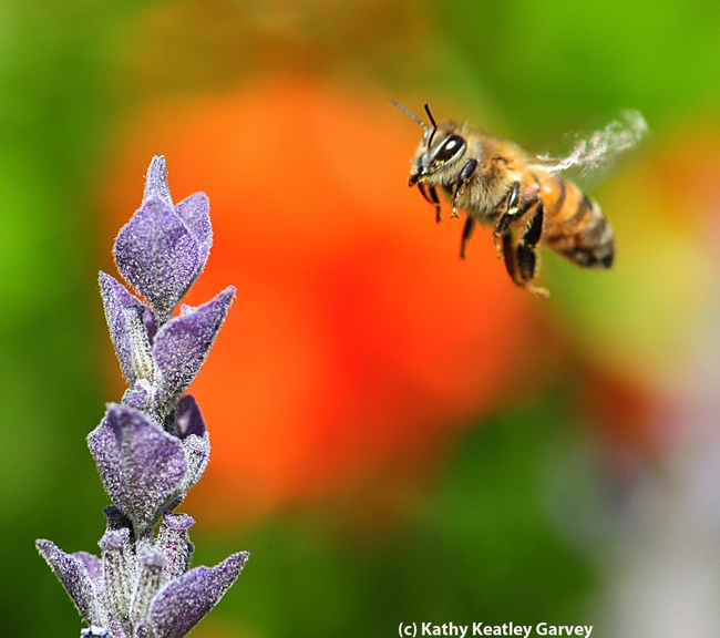 Italian honey bee heading toward lavender. (Photo by Kathy Keatley Garvey)