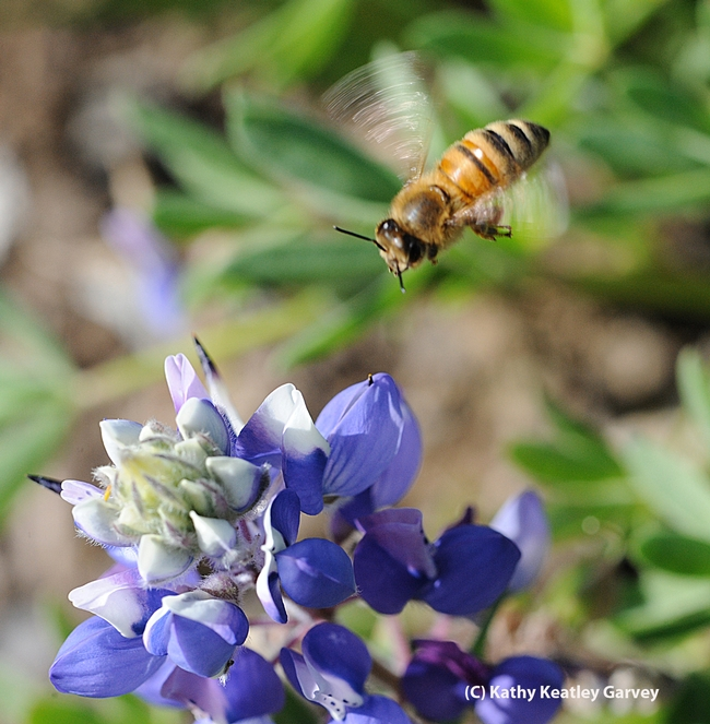 Honey bee, wings a soft blur, makes a beeline for a lupine. (Photo by Kathy Keatley Garvey)