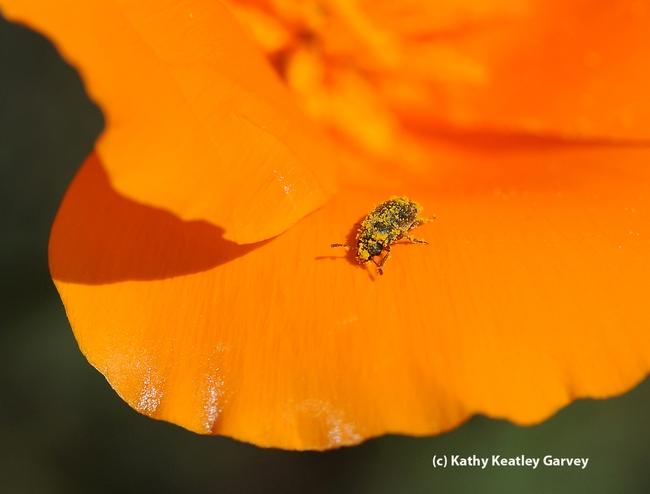 Melyrid beetle (Endeodes insularis) on a poppy petal. (Photo y Kathy Keatley Garvey)