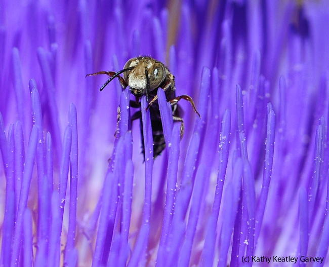 Male cuckoo leafcutting bee (genus Coelioxys) emerges from the purple strands of an artichoke blossom. (Photo by Kathy Keatley Garvey)