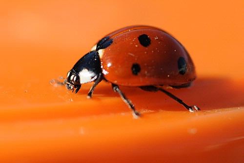 ON THE MOVE--The ladybug, her legs a blur, heads out. (Photo by Kathy Keatley Garvey)