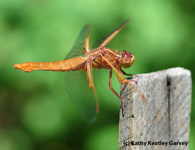 Flame skimmer perched on a tomato plant-stake. (Photo by Kathy Keatley Garvey)
