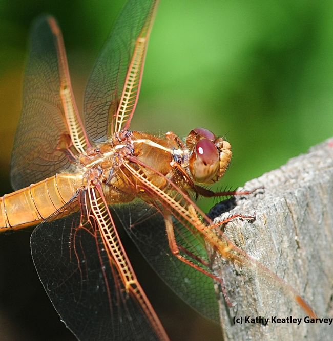 Close-up of flame skimmer. (Photo by Kathy Keatley Garvey)