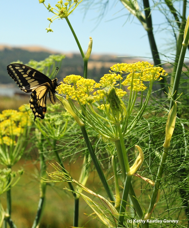 Female anise swallowtail,Papilio zelicaon, as identified by butterfly expert Art Shapiro of UC Davis, visiting anise at the Benicia Marina. (Photo by Kathy Keatley Garvey)