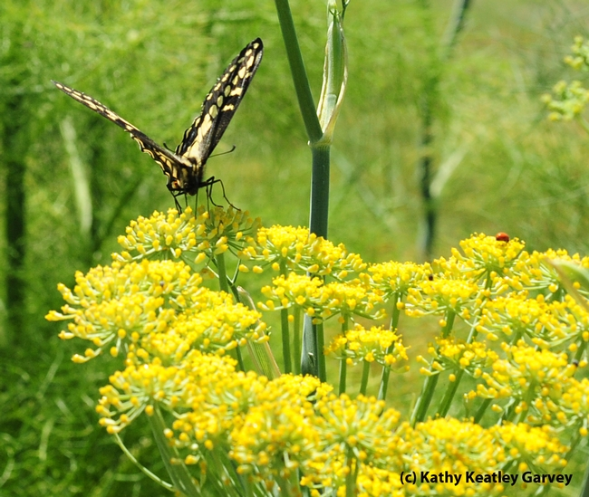 A female anise swallowtail,Papilio zelicaon,  touches down on anise at the Benicia Marina. (Photo by Kathy Keatley Garvey)