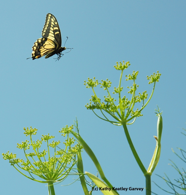 Up and away--the female anise swallowtail flutters away. (Photo by Kathy Keatley Garvey)