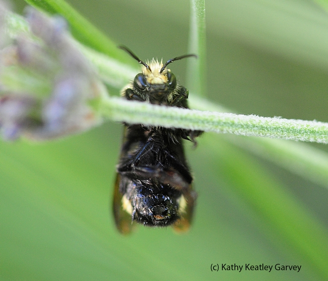 Male yellow-faced bumble bee, Bombus vosnesenskii, appears to be doing a chin up. (Photo by Kathy Keatley Garvey)