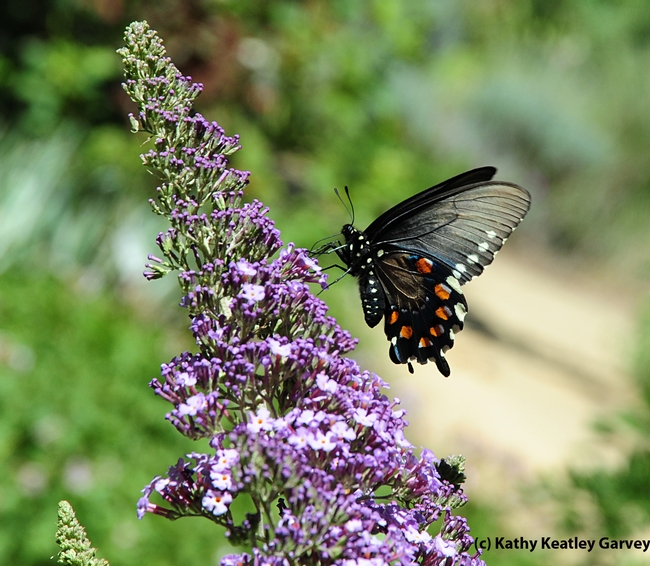 Pipevine swallowtail visiting the Storer Garden, UC Davis. (Photo by Kathy Keatley Garvey)