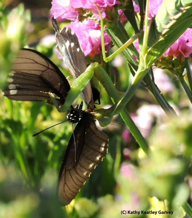 Praying mantis devouring a pipevine swallowtail. (Photo by Kathy Keatley Garvey)
