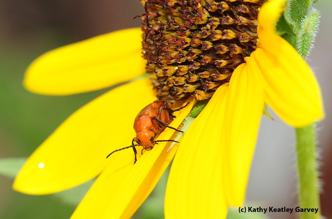 Meloid blister beetle, which produces a toxin known as cantharidin,  peers at the camera. (Photo by Kathy Keatley Garvey)