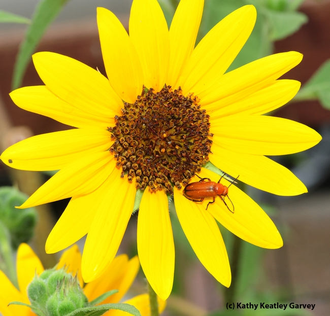 Meloid blister beetle foraging on a sunflower. (Photo by Kathy Keatley Garvey)