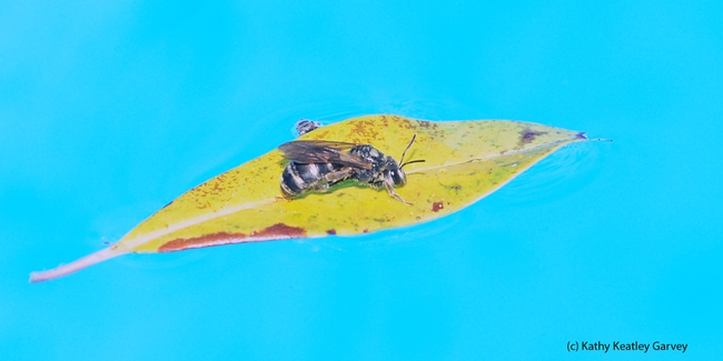Summertime...and the living is easy...A female sweat bee, genus Halictus, floats on a leaf in a swimming pool. (Photo by Kathy Keatley Garvey)