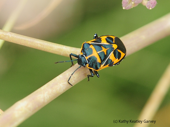 Harlequin bug, Murgantia histronica, on weeds at the Benicia Marina. (Photo by Kathy Keatley Garvey)