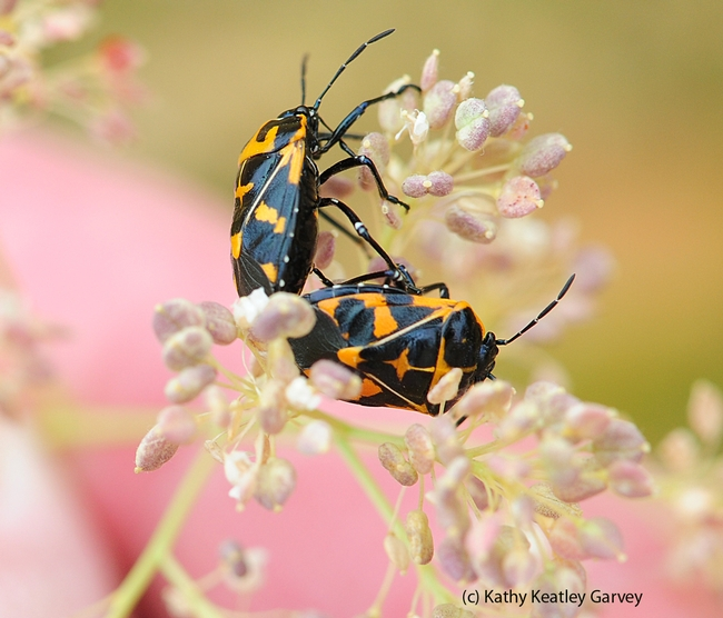 Harlequin bugs suck juices out of plants. They prefer the cabbage family but also go for garden vegetables, weeds, field crops and fruit trees. (Photo by Kathy Keatley Garvey)