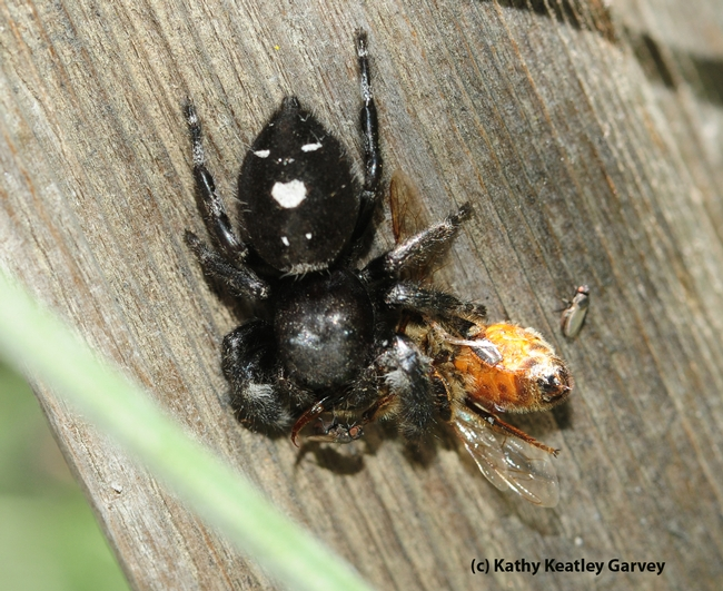 Jumping spider eating a honey bee. (Photo by Kathy Keatley Garvey)