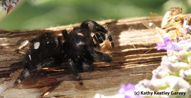 Jumping spider eating a sweat bee. (Photo by Kathy Keatley Garvey)
