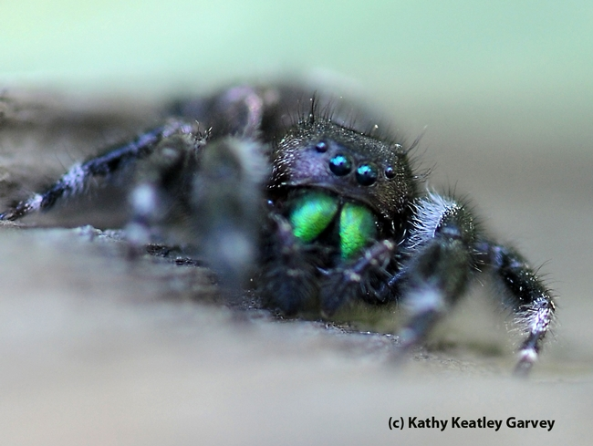 Moving fast, a spider heads for prey.  (Photo by Kathy Keatley Garvey)