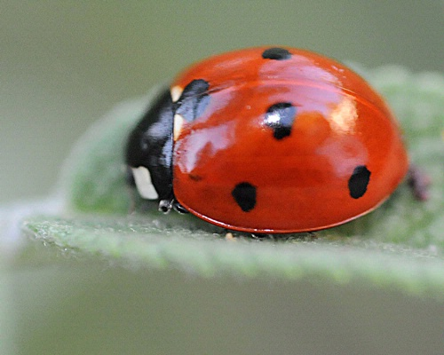 THE LADYBUG--The ladybug is an indicator of health and sustainability in olive orchards, scientists in Spain have found. (Photo by Kathy Keatley Garvey)