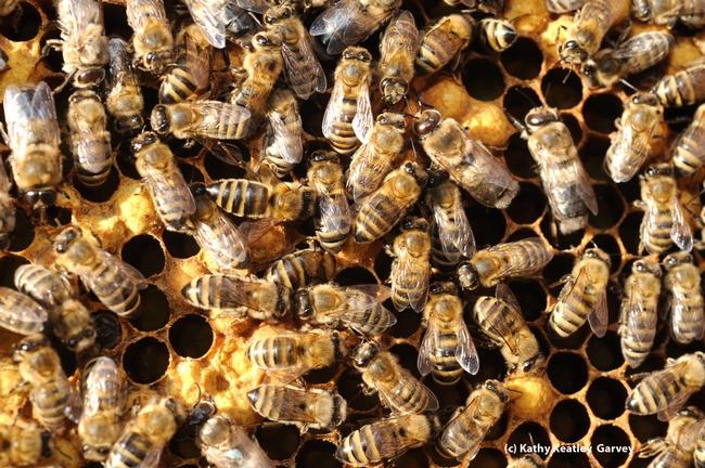 Worker bees working inside the hive. (Photo by Kathy Keatley Garvey)